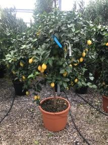 Two Metre High Lemon Plants