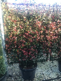 Screens Made Of Photinia, Olive and Jasmin
